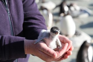 Gentoo penguin chicks have started to hatch at Edinburgh Zoo.