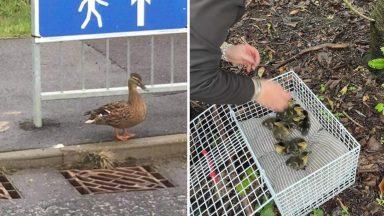 Ten ducklings were saved in Stoneywood.
