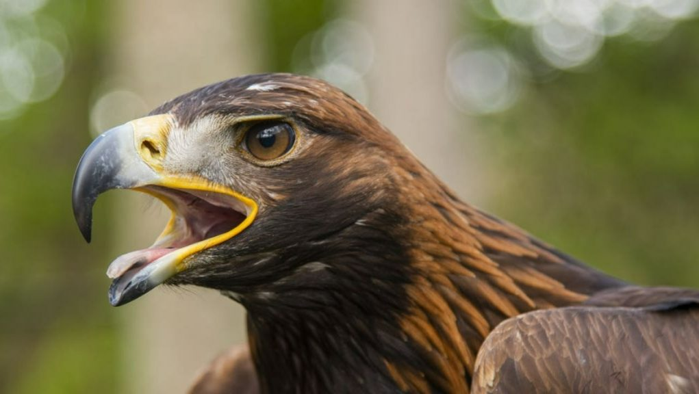 Golden eagle: Police have launched an investigation.