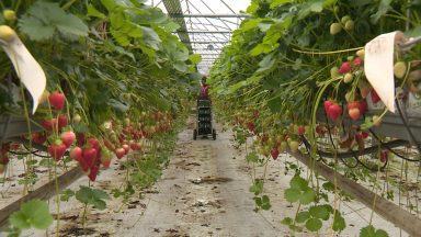 Farmers fear berries could be left to rot due to a lack of pickers.