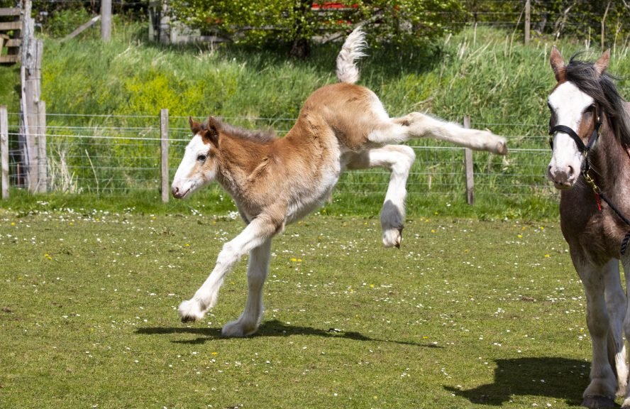 A rare Clydesdale foal was born in West Lothian.
