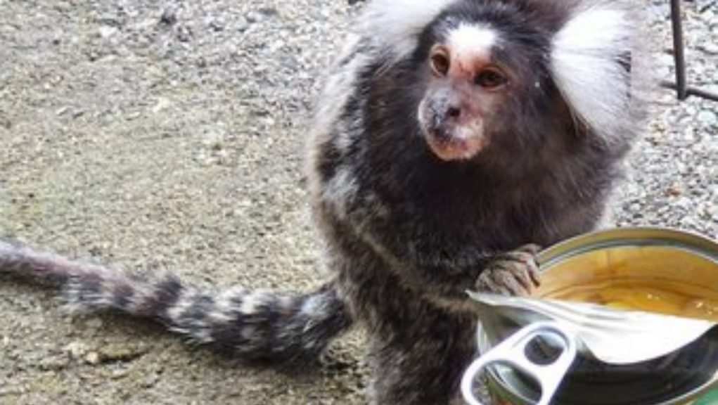 Monkey business: ScotRail put out an appeal to try and reunite the animal with its owners on Saturday.