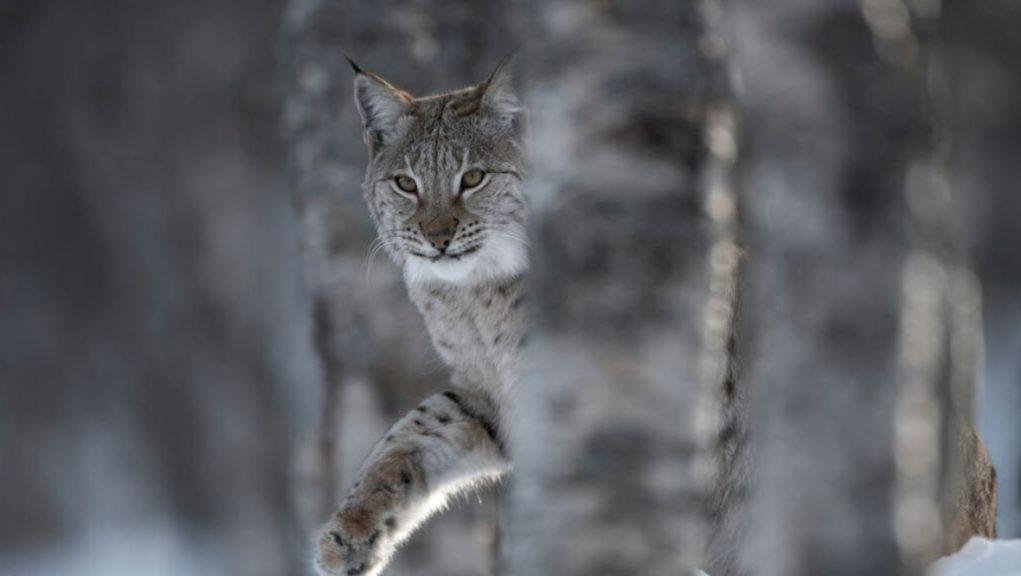 Lynx: The Scottish Rewilding Alliance spoke out as talks take place between the Greens and the SNP.