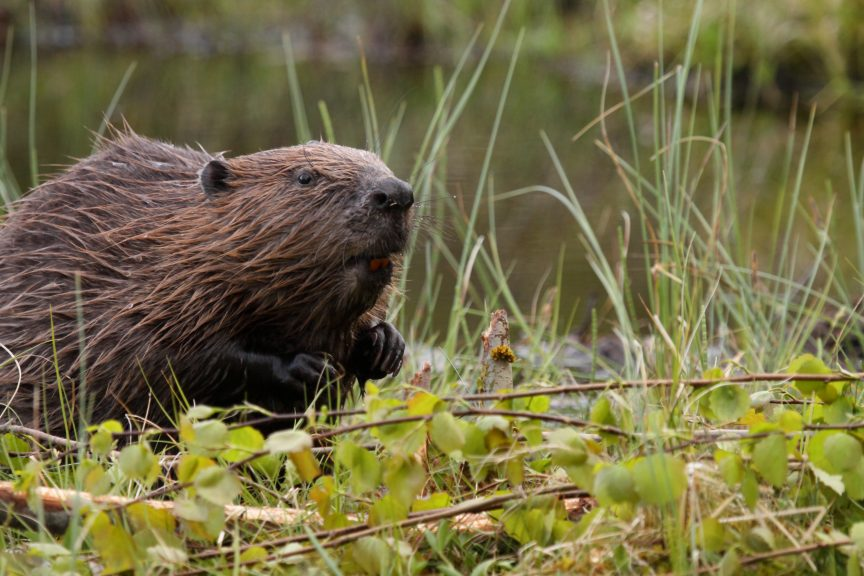 Beavers: Population 'more than doubled in three years', according to new survey.