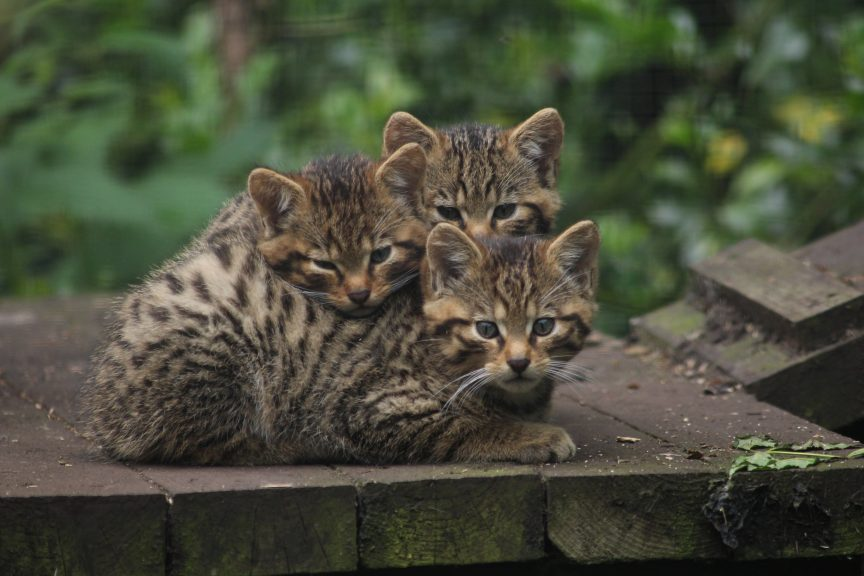 Wildcats: Barra, Rum and Rona have been named after Scottish islands.