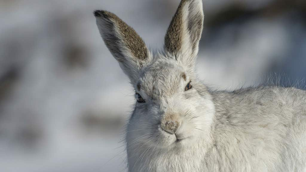 Mountain hares were included on Schedule 5 of the Wildlife and Countryside Act 1981 (as amended) from this March and so have full protection.