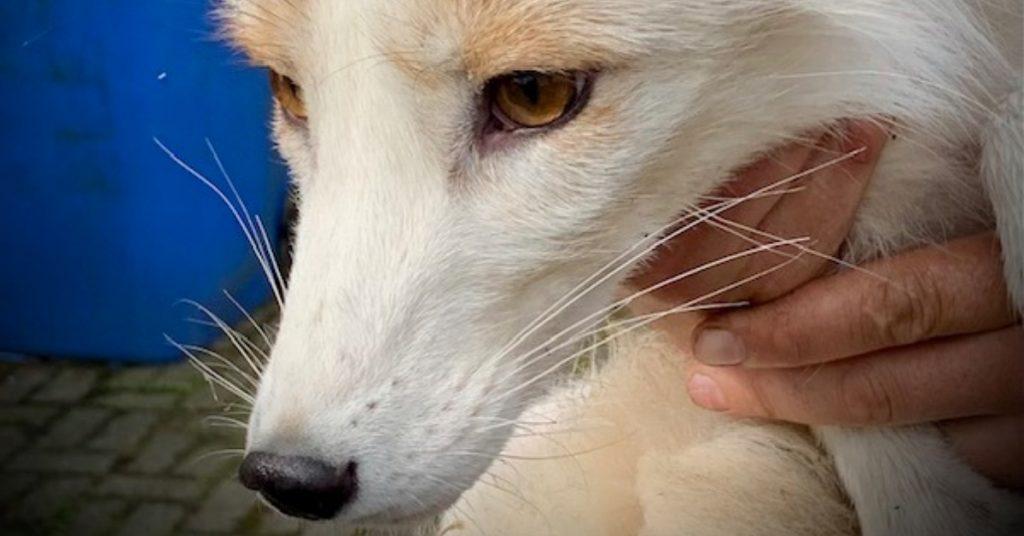 Rare white fox mistaken for wolf in West Lothian.