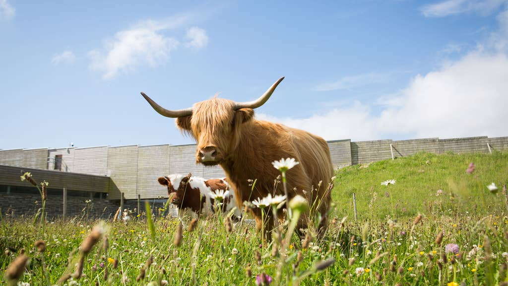 Grazing: Cows used to maintain battlefield.