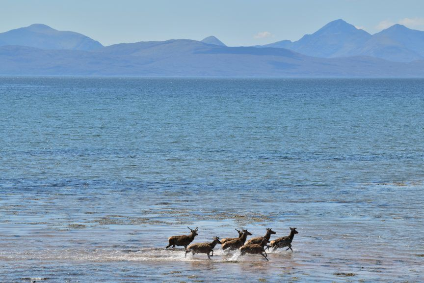 Deer were enjoying cooling off in the shallow water.