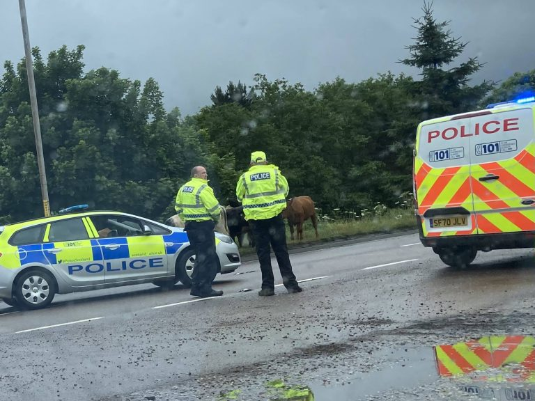 Disruption: Cows moved from road.