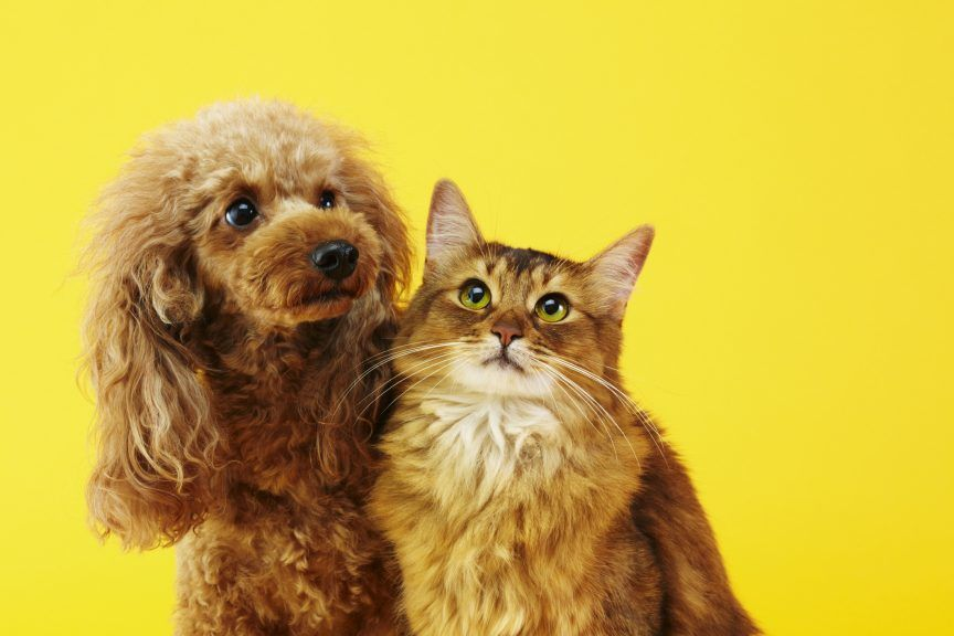 Pets4Homes said the most popular dog breed on the site, the cavapoo, attracts roughly 283 buyers per advert, dropping from a peak of 590.
