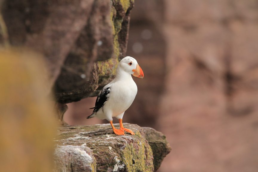 A rare white puffin has been spotted on Handa Island.