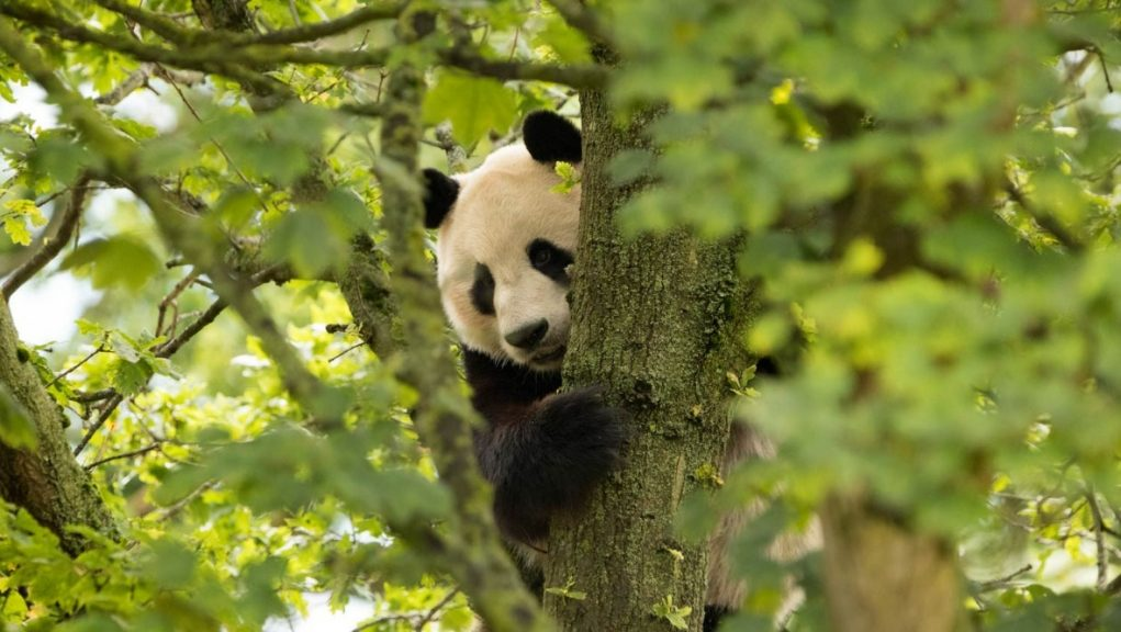 Edinburgh: Tian Tian and Yang Guang were moved to the zoo in December 2011 on a ten-year loan.