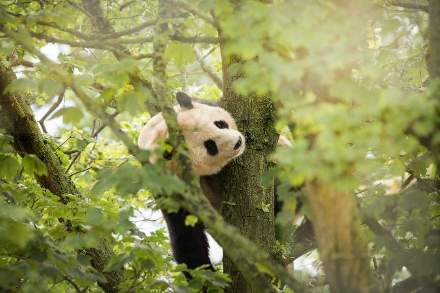 The pandas may have to return to China next year.