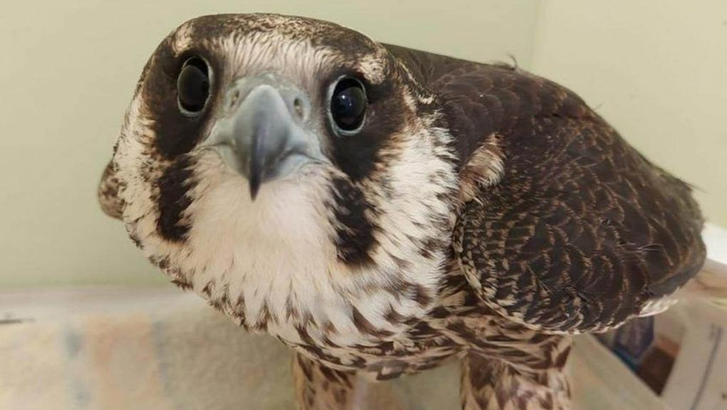 Peregrine falcon was found injured at Grange Farm in Fife.