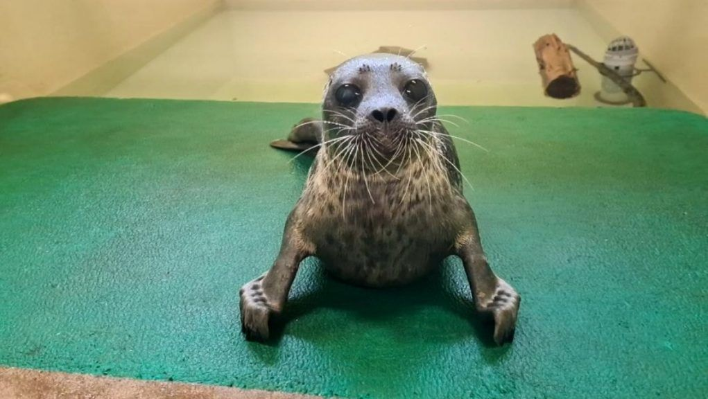 Seal: Little Hispi is now being cared for by the Scottish SPCA.