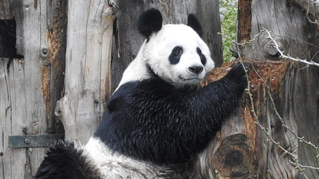Female Giant Panda to remain at Edinburgh Zoo despite unable to produce cub.