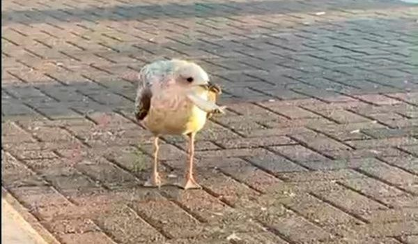 The elusive gull escaped many attempts made by the RSPCA.