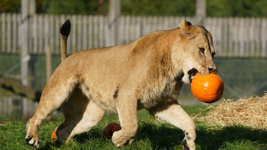 Feline fine: Lions spotted playing with pumpkins.