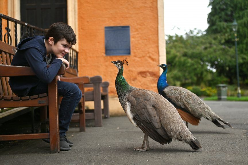 Peacocks: The birds roam around Dunfermline, stopping traffic and wandering into pubs.